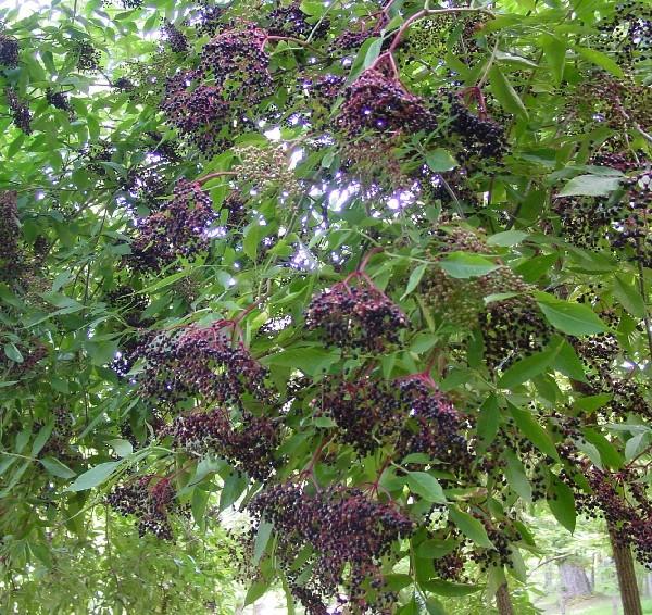 Il sambuco fai da te istruzioni e consigli per l 39 uso for Pianta ornamentale con fiori a grappolo profumatissimi
