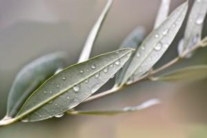 proprietà foglie olivo